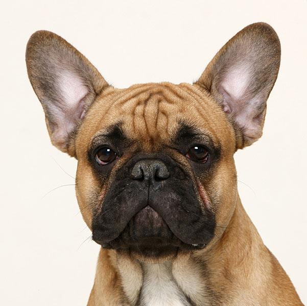 French Bulldog Dog Breed Information - akc.org